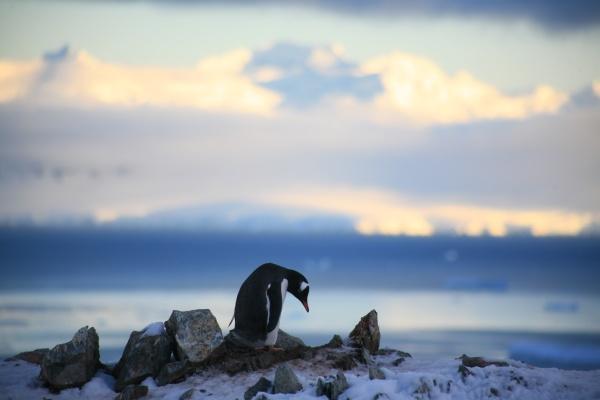 Pingvinas_1